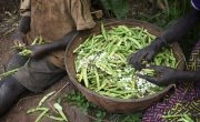 Aline Nsabimana's family shell and sort the dried beans they have just harvested. Chris de Bode/Concern Worldwide.