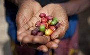 Violette Bukeyeneza with her coffee beans. Photo: Abbie Trayler-Smith / Concern Worldwide.