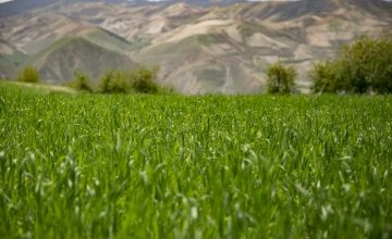 A field of wheat in the highlands of Yawan district. Photo: Kieran McConville / Concern Worldwide.
