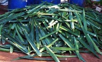 Harvested sisal leaves ready to be processed on La Gonâve Island.