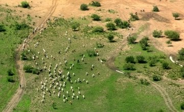 Cattle are considered the most important asset in this agro-pastoralist society. Photo: Connell Foley / Concern Worldwide, Northern Bahr-el-Ghazal, South Sudan, 2015.