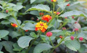This plant, called lantana camara is helping to fight Malaria in Tanzania. Photo: Concern Worldwide.