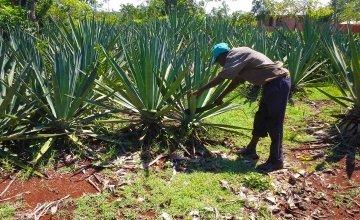 A farmer works on his sisal plant in Haiti.