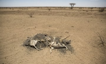 The carcasses of hundreds of dead sheep and goats litter the landscape in Somaliland, as pasture and water suplies disappear. Photo: Concern Worldwide.