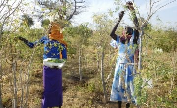 Harvesting of moringa leaves in the rural resource centre of Djedide. Photo: C Ann Degrande / Concern Worldwide.