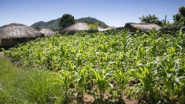 Maize growing in Mangochi, Malawi. Photo: Kieran McConville / Concern Worldwide