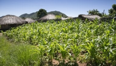 Maize growing in Mangochi, Malawi. Photo: Kieran McConville / Concern Worldwide
