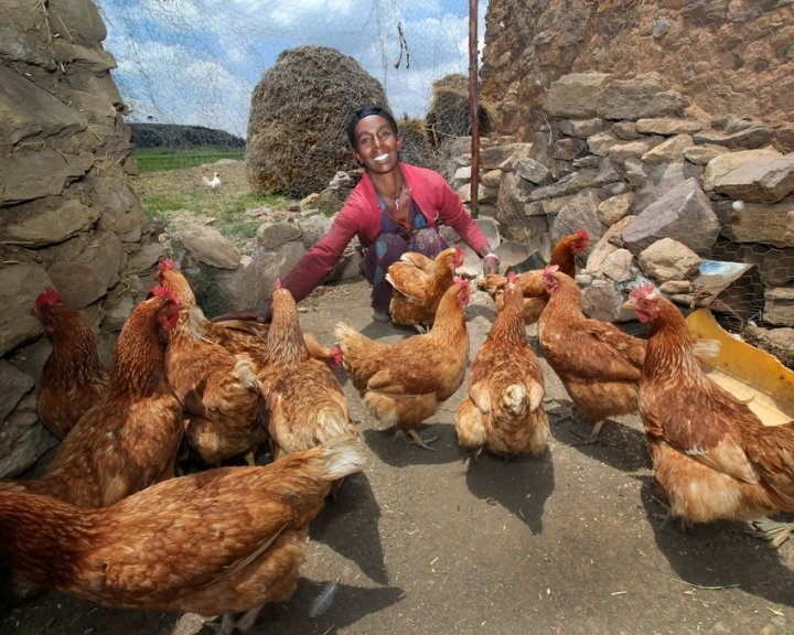 Lemlem Tesega sets the pecking order for her chickens in Ethiopia. Photo:Nick Spollin / Concern Worldwide