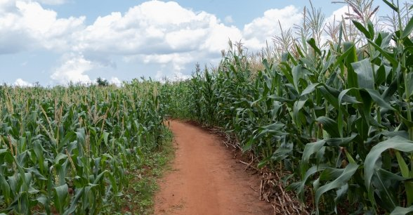 A field of maize grown by local farmer Stawa James in Kwitunji, Malawi. Photo: Eamon Timmins / Concern Worldwide.