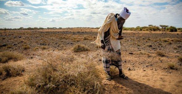 Guyo Gonjoba inspects plants eaten by locusts.