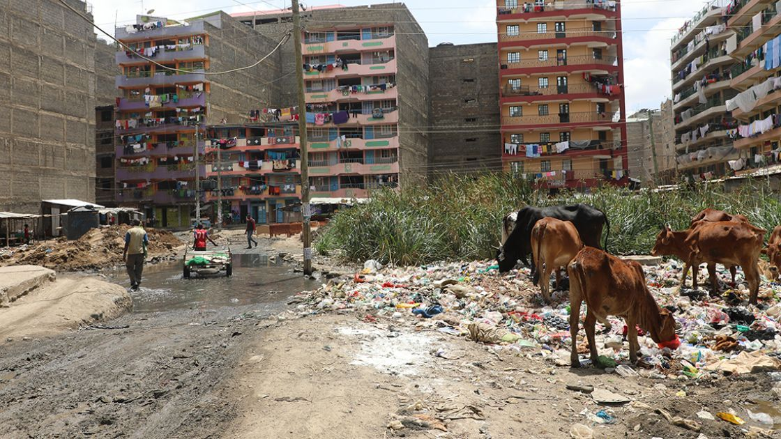 Cows owned by farmers forced to migrate to the city graze on fly-infested rubbish dumps outside the concrete apartment blocks of Pipeline slum in Nairobi. Photo: Jennifer Nolan / Concern Worldwide.