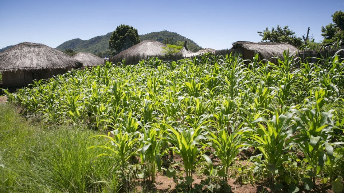 Maize growing in Mangochi, Malawi. Photo: Kieran McConville / Concern Worldwide.