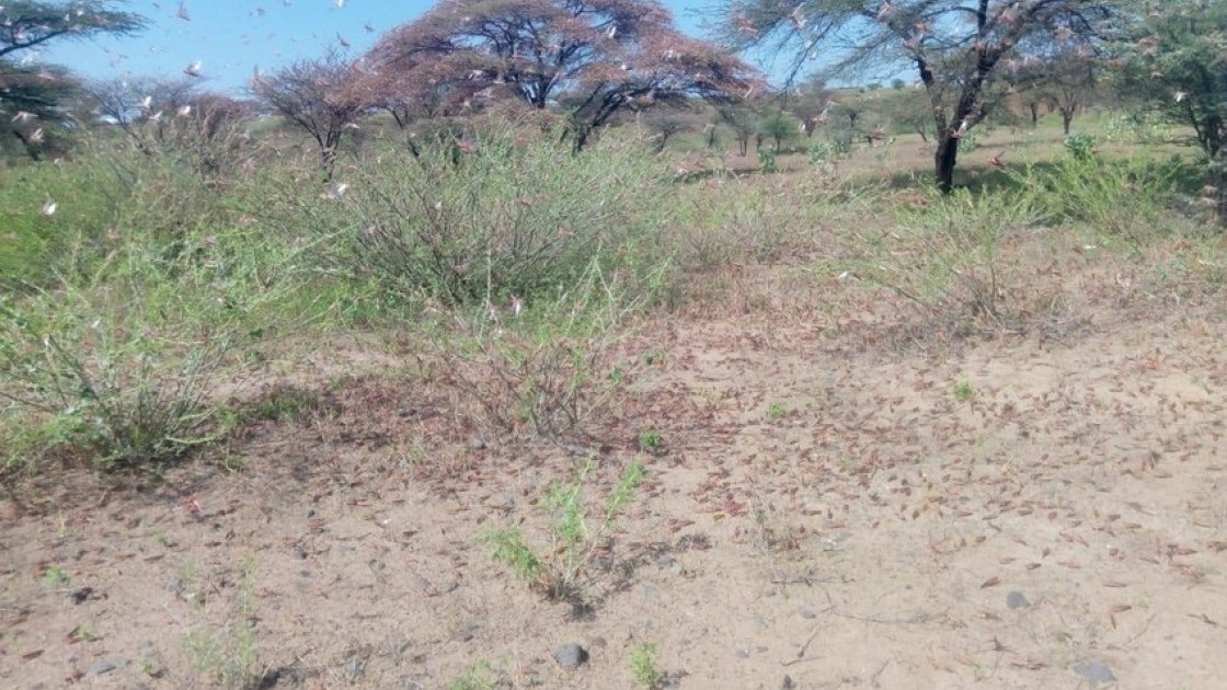 Locusts in Dukana and North Horr in Marsabit County in Kenya
