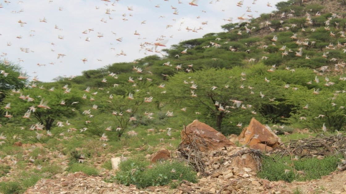 Swarms of desert locusts in Somaliland during the last week of May 2020.