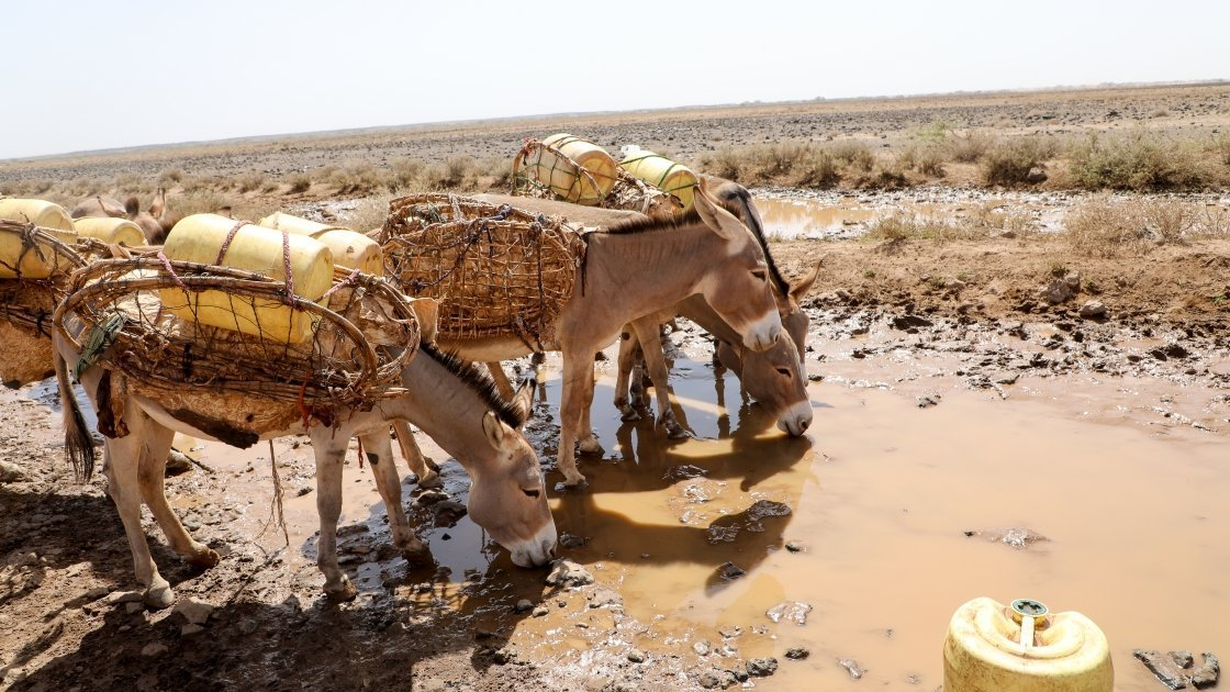 Animals being forced to drink from muddy puddles due to the severity of the drought in northern Kenya. Photo: Jennifer K Nolan/Concern Worldwide.