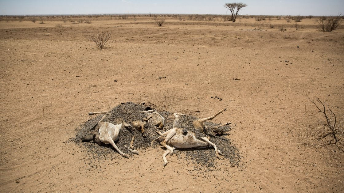 The carcasses of hundreds of dead sheep and goats litter the landscape in Somaliland, as pasture and water supplies disappear. Photo: Kieran McConville/Concern Worldwide.