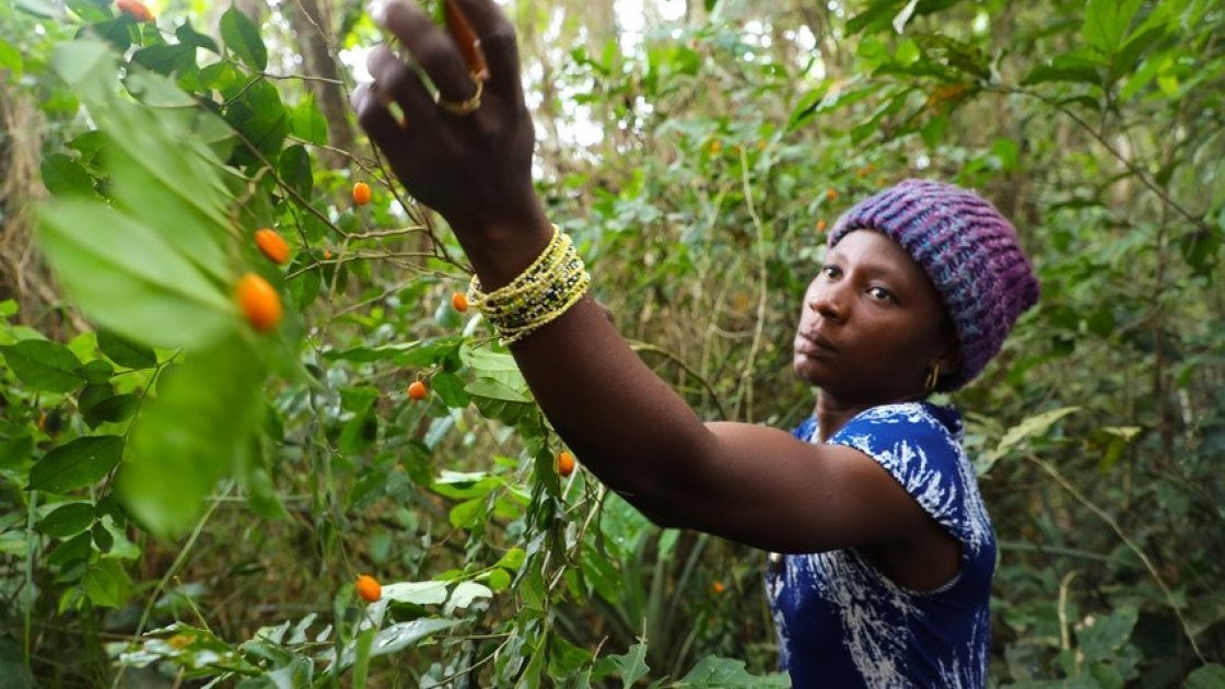 Adamsay Kougbo (25) picking 'Makrun' - orange wild fruits in the local forest. She is a participant of the LANN programme run by Concern Worldwide and Welthungerhilfe in Sierra Leone. Photo: Jennifer Nolan / Concern Worldwide.