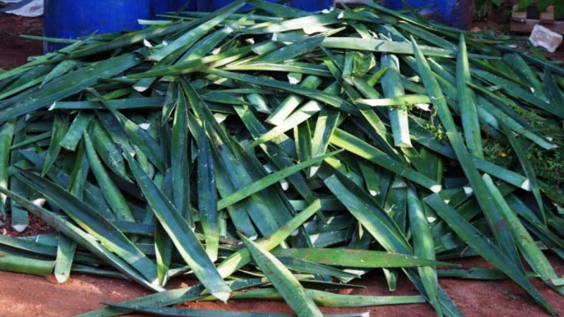 Harvested sisal leaves ready to be processed on La Gonâve Island.