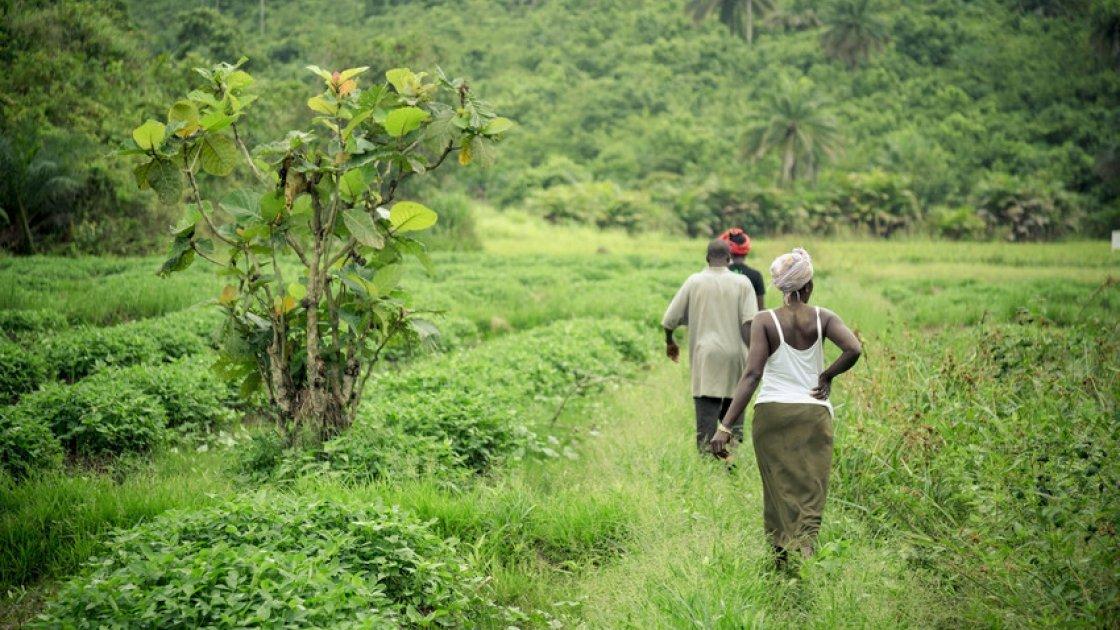 Beneficiaries walk towards their rice in Pateful Chain, Kunike Chiefdom, Tonkolili District, Sierra Leone. Photo: Michael Duff / Concern Worldwide.