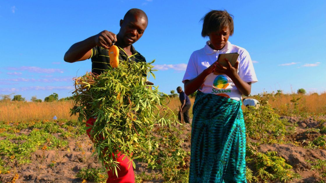Wallen Ndovie and Thoko Kalanje (Concern Worldwide) weighing OFSP vines and roots (SUSTAIN Malawi) Photo: Sara Quinn.
