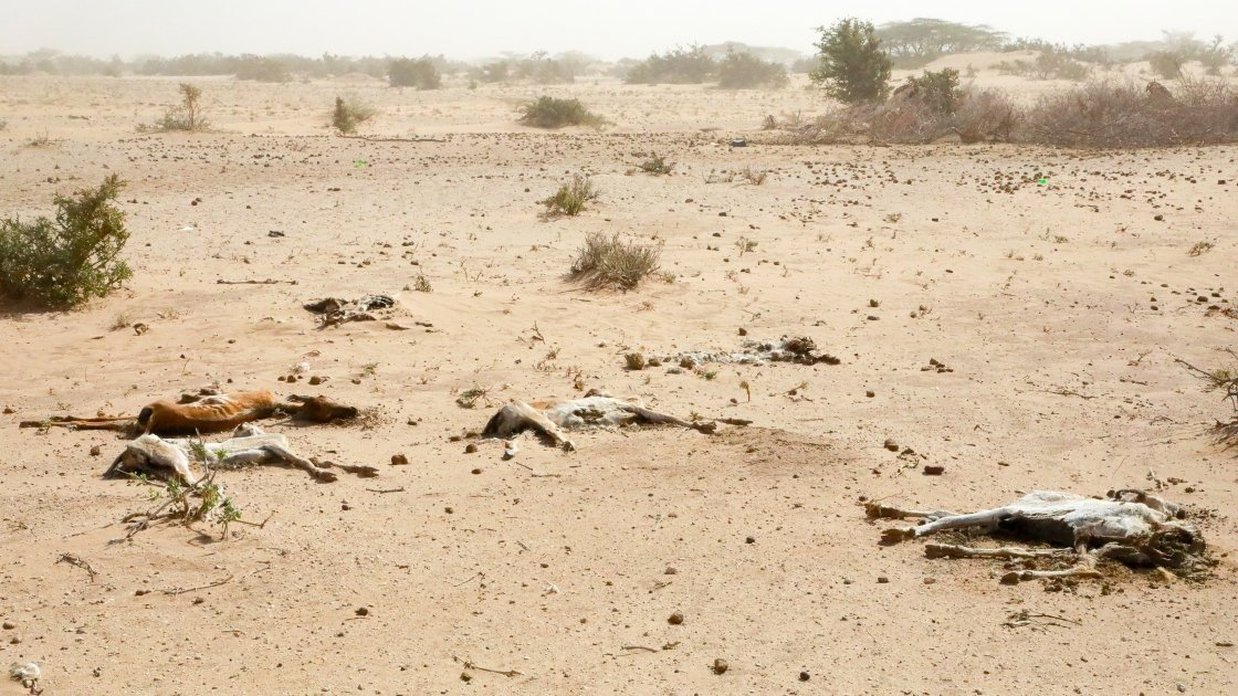 North eastern Kenya in the ferociously hot Chalbi desert. The drought crisis here has grimly transformed the desert into a goat graveyard as scores die of thirst and starvation. Photo: Jennifer Nolan / Concern Worldwide.
