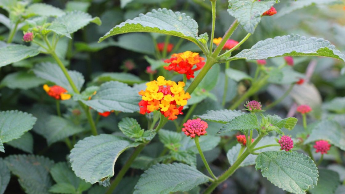 This plant, called lantana camara is helping to fight Malaria in Tanzania. Photo: Concern Worldwide.