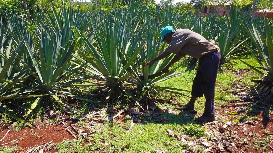 A farmer works on his sisal plant in Haiti.