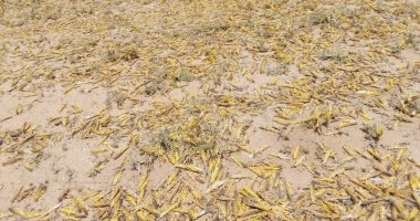 Locusts in Laisamis in Marsabit County in Kenya where Concern Worldwide is assessing the damage the swarms are having on communities. Photo: Concern Worldwide