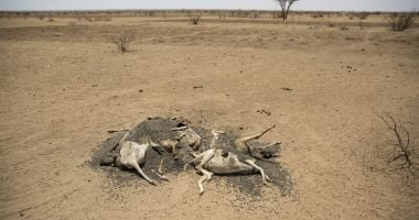 Livestock die as water sources dry up during droughts like the one devastating much of Kenya today.