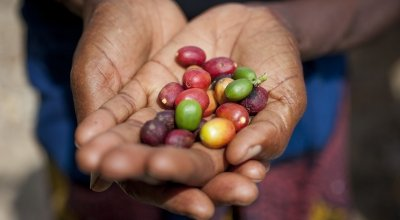 Coffee seeds from Burundi. Photo: Abbie Traylor-Smith / Concern Worldwide.