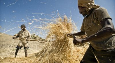 Men gather straw on their farm in the rural area of Sokota, Ethiopia. Credit: Sven Torfinn / Panos Pictures